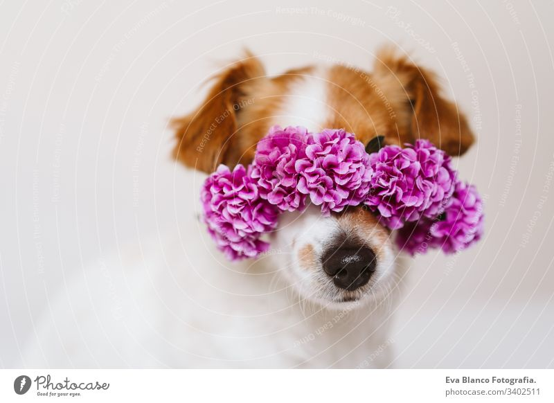 beautiful jack russell dog at home wearing a purple wreath of flowers. Springtime and lifestyle concept spring springtime daytime portrait indoors white cute