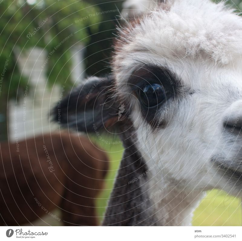 Alpaca Love Detail Eyes White-haired Shallow depth of field Close-up Animal portrait Animal face Looking into the camera Colour photo Curiosity Observe Pelt