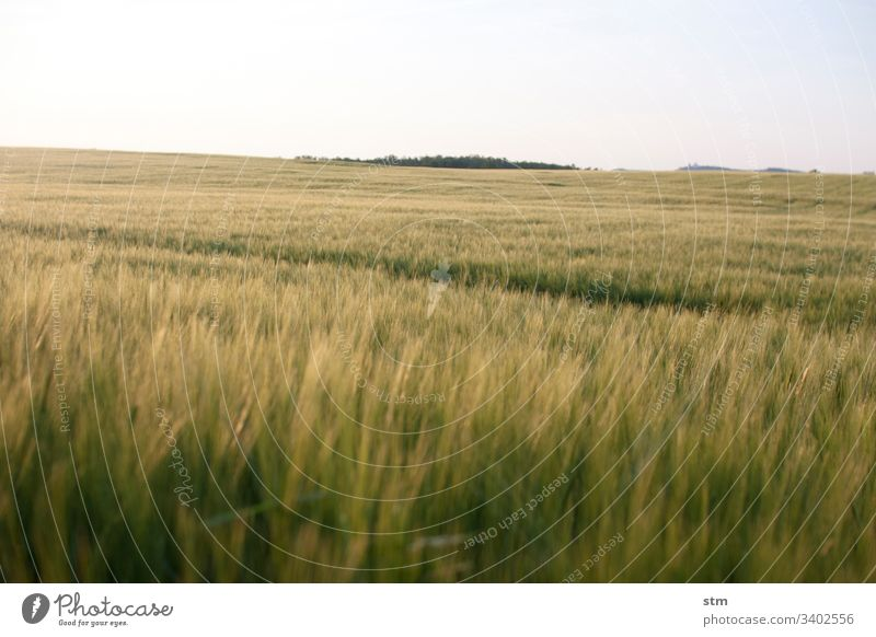 Grain field before harvest Summer Harvest fertility shallow depth of field Agriculture Manmade landscape Cloudless sky Field Ear of corn Wheat Wheatfield Growth