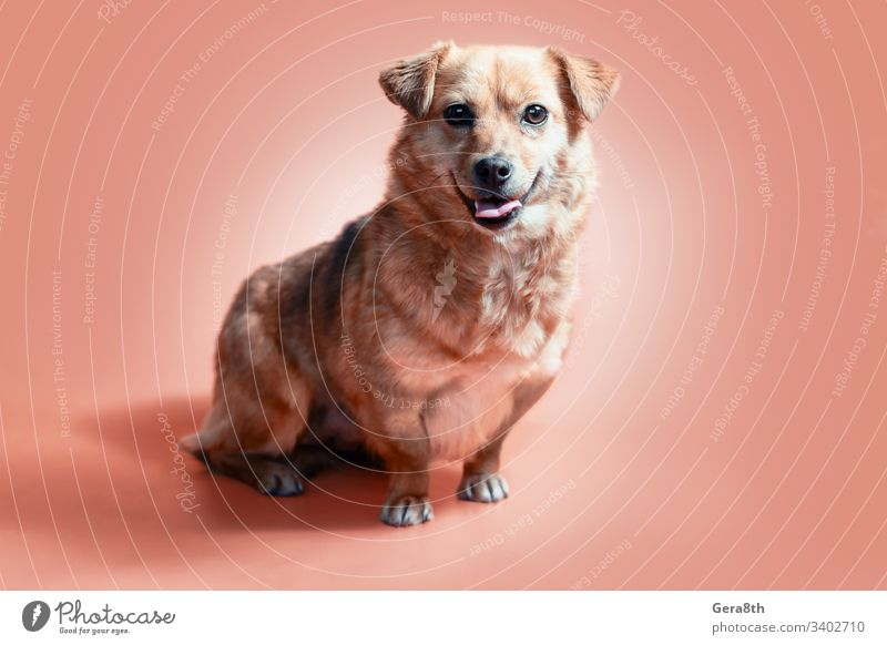 joyful smiling mongrel red dog on a peach colour background adopt adopt a dog adopt a puppy adopted adoption adult animal canine coral background coral color