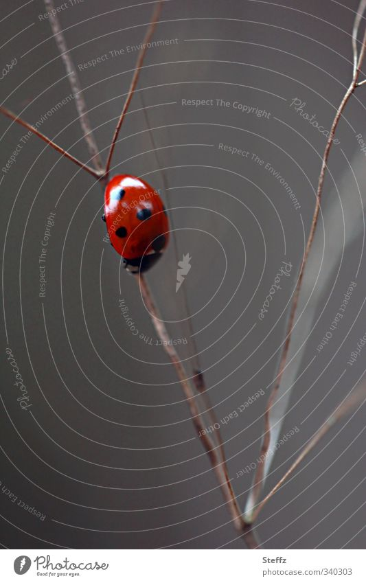 Nature Red Movement Gray Small Living thing Insect Near Direction Downward Backward In transit Beetle Crawl Ladybird Spotted