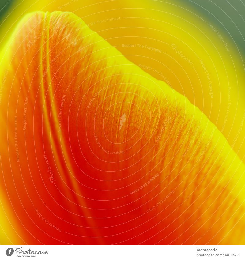 Close-up Yellow Red Sheet Colour photo Spring Plant Flower Tulip blossom Nature Exterior shot Leaf Multicoloured Detail Color gradient Deep depth of field