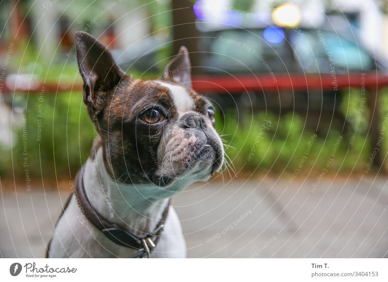 city dog Dog Pet Animal small dog Colour photo Exterior shot Deserted Looking Brown Day Animal portrait Forward Animal face Shallow depth of field Close-up