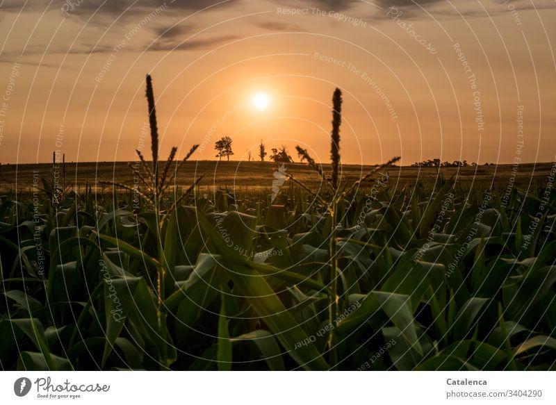 The sun goes down, in the foreground is a cornfield Sun Twilight Sunlight sunset Sunset Evening Sky Dusk Orange Horizon Landscape Summer Calm Nature Plant Maize