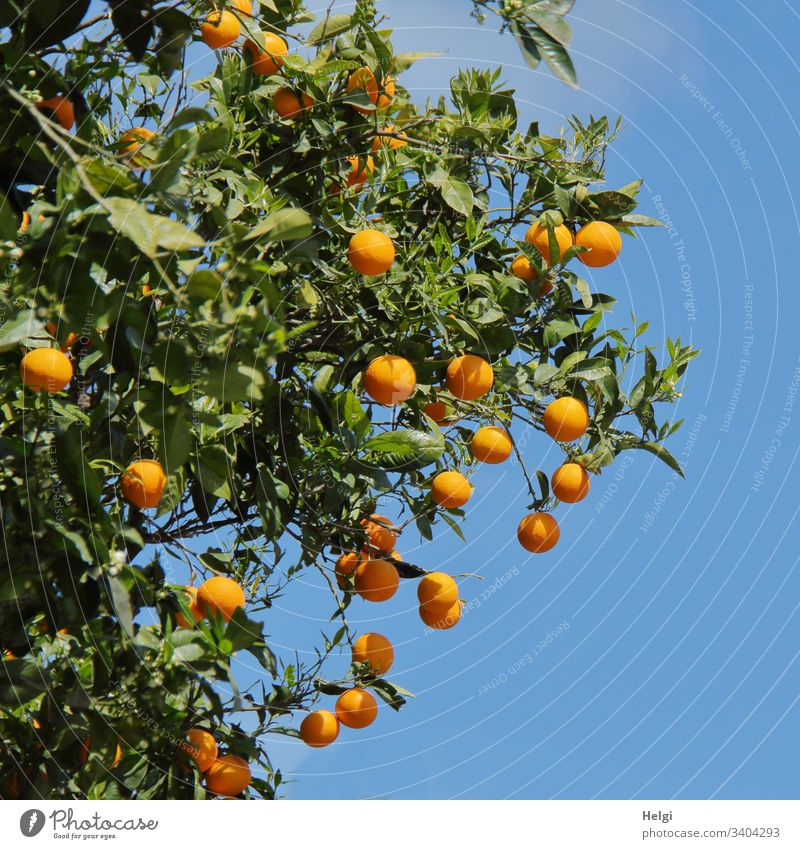 Orange tree with ripe oranges in front of blue sky Tree Twig Fruit Exterior shot Colour photo Nature Environment Mediterranean Sunlight Beautiful weather Leaf