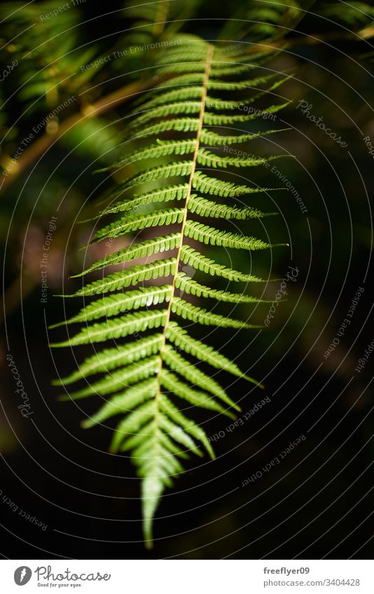 Detail of a giant fern (Cyathea arborea) flora nature plant natural forest botany green garden leaf pine rico west spruce tropical evergreen tree caribbean