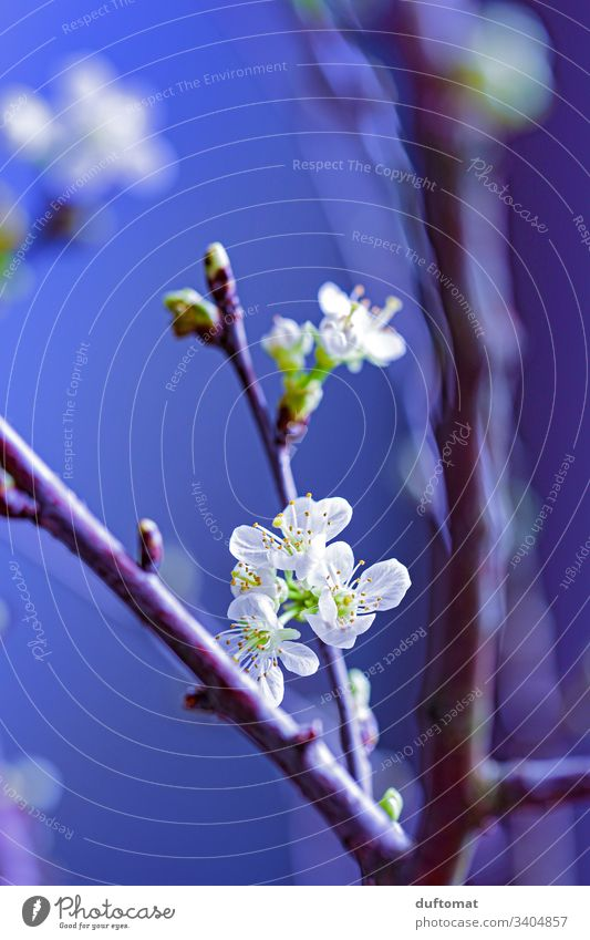 Branch with flower buds, apple branch, cherry branch Apple blossom Nature Expel Spring Blossom Plant Flower Garden Close-up Growth Blossoming Tree Natural Fresh