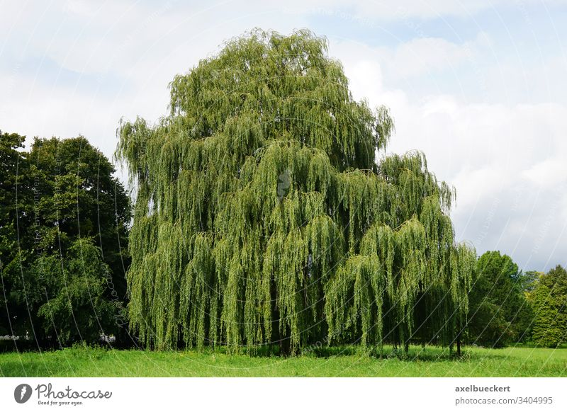weeping willow tree Babylon willow salix babylonica park summer green landscape nature plant garden large big flora botanic countryside lush foliage deciduous