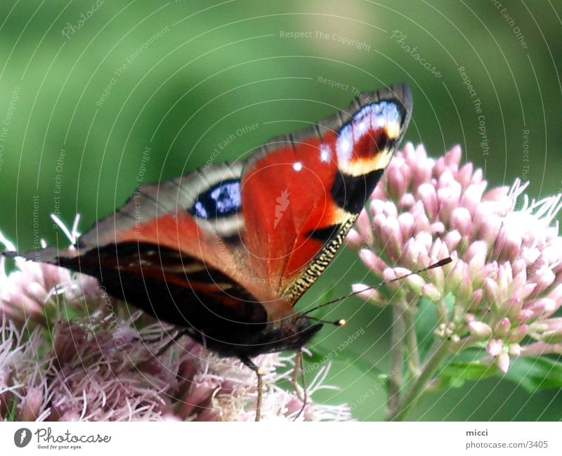 Nature Flower Plant Transport Wing Butterfly Peacock butterfly
