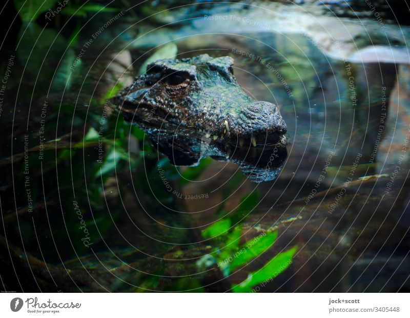 Crocodile looks out of the water Animal portrait Artificial light Habitat Exotic Aquarium Water Shallow depth of field Reflection Contrast Colour photo