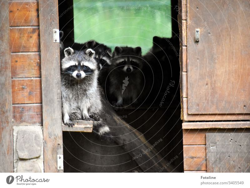 Quarantine - or a group of cute little raccoons who just don't want to leave their cottage Mammal Animal Pelt Paw Tails Sweet Small Ear Cute White Gray Brown
