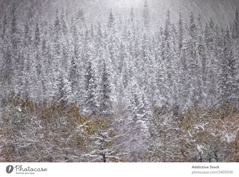 Winter landscape with snowy forest winter snowfall tranquil tree nature season coniferous woods spruce cold pine countryside canada plant wild evergreen scenic