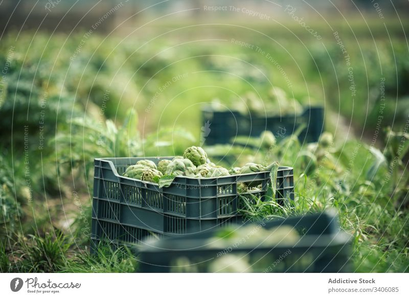 Boxes with artichokes on farm box ripe harvest agriculture organic plantation green cultivate countryside nature field food fresh rural vegetable growth