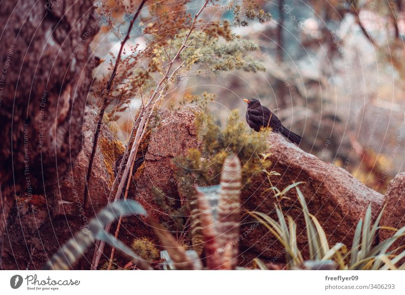Common Blackbird (Turdus Merula) on a natural scenery nature wildlife common blackbird turdus merula forest rocks leaves brown horizontal fauna thrush animals