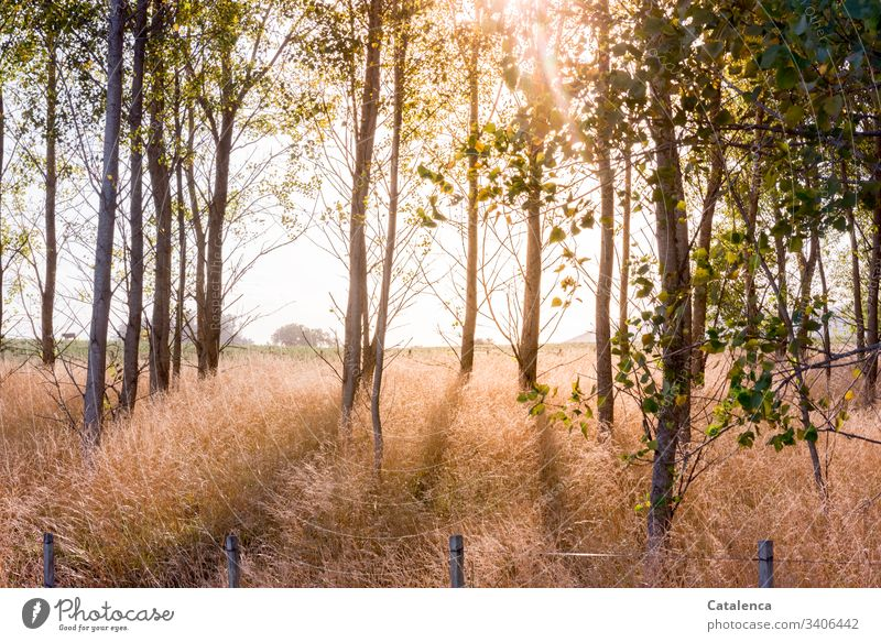 Sunlight floods a poplar forest, the tall grass glows. trees Sky Forest Environment Landscape Plant Natural Green Nature leaves Poplar Grass Fence Horizon