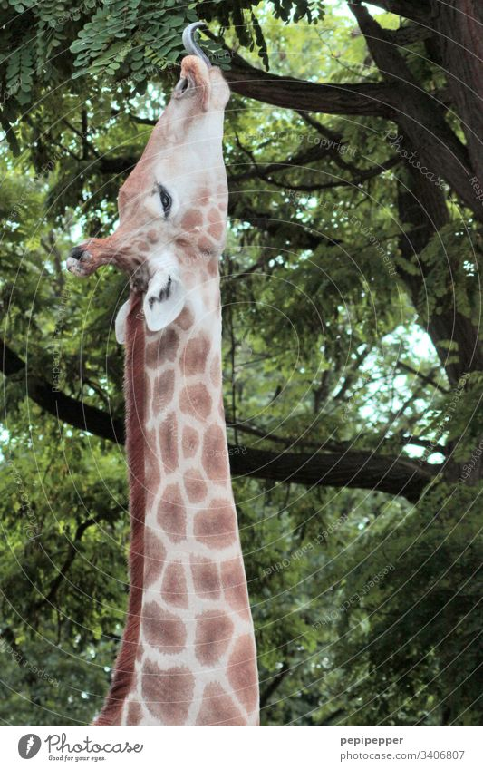 Giraffe makes long neck Neck Africa Zoo Exterior shot Brown Long Safari Tongue Eating Animal Wild animal world Vacation & Travel blotch