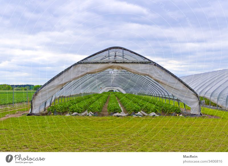 Strawberries Greenhouse Greenhouses Strawberry Strawberry plants Strawberry Rows Strawberry plantation Fruit fruits Harvest reap series nobody Copy Space