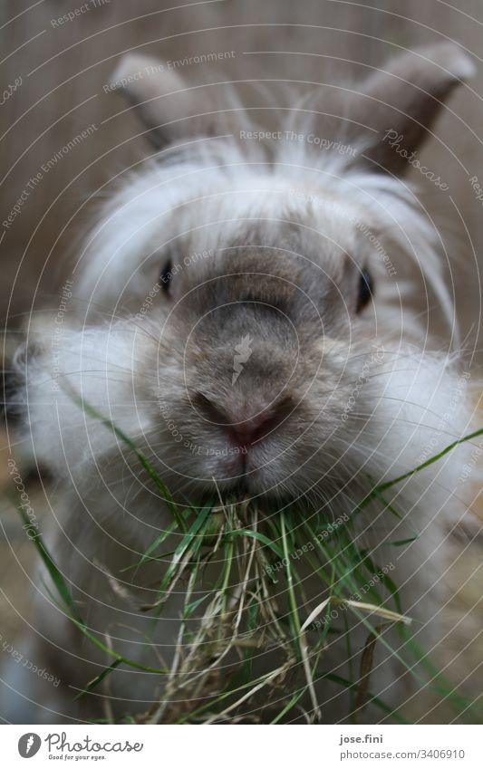 Rabbit munching grass with relish, which hangs cheekily from his mouth. Hare & Rabbit & Bunny Animal Animal portrait Spring fever Love of animals Pelt Pet