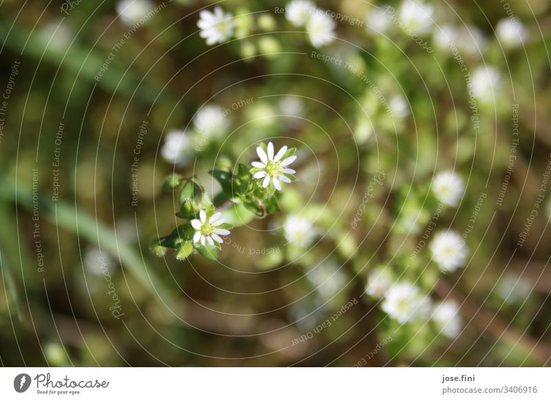 small white flowers / herb Nature Plant herbaceous Flowering plant petals Detail Green White Natural Garden Spring Exterior shot Sunlight Bright Weed Blossom