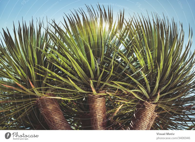 Three branches of a Dragon tree also known as Dracaena draco or Drago from Canarian islands color no people bark nature natural natural light botanic