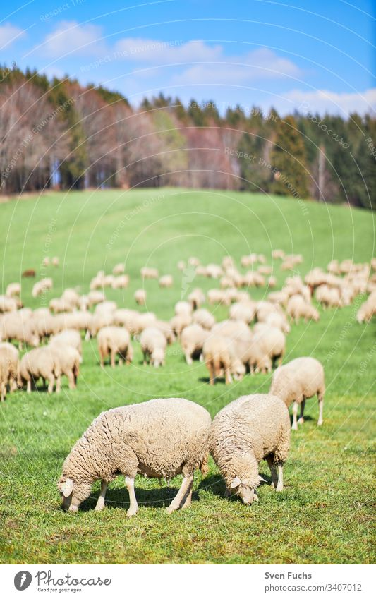 Flock of sheep in spring on a pasture in the Bodensee district sheep breeding migratory sheep lambs Lake Constance Nature Grass Field Green Meadow Agriculture