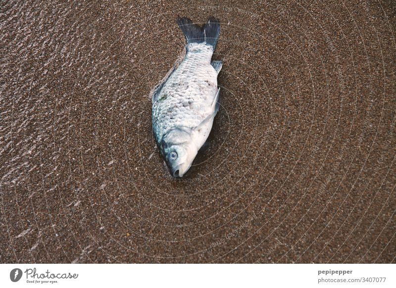 Dead fish on the beach Fish deceased Nature Death Animal Dead animal Body Face Flake Animal portrait Colour photo Deserted Water Beach Sand Lie pass away