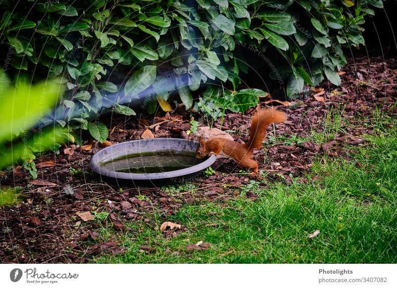 Red squirrel at water trough Nature Animal Park Wild animal Squirrel Rodent 1 Sit Natural Colour photo Exterior shot Forest Bushes Grass Plant Environment Cute