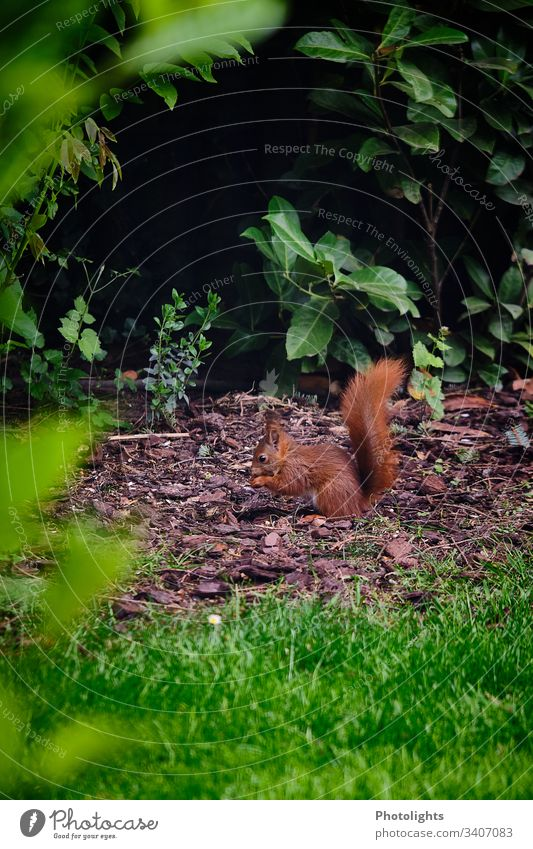 red squirrel Nature Animal Park Wild animal Squirrel Rodent 1 Sit Natural Colour photo Exterior shot Forest Bushes Grass Plant Environment Cute Animal portrait