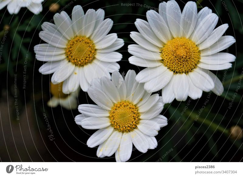 Close up of three Leucanthemum vulgaris blossoms abstract leucanthemum many chamomile flower nature wallpaper pretty green natural outdoor vulgare