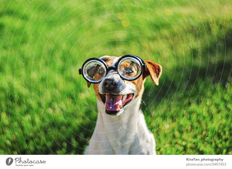 Portrait of dog in round reading glasses. Funny dog face on green grass background jack russell terrier outdoor playful strong cute adorable summer healthy