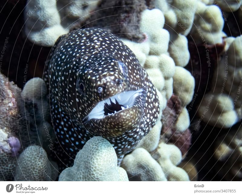 Close up Moray Eel Face and Teeth in Reef moray eel detail closeup close up macro face expression mouth teeth underwater undersea coral reef ocean life wildlife