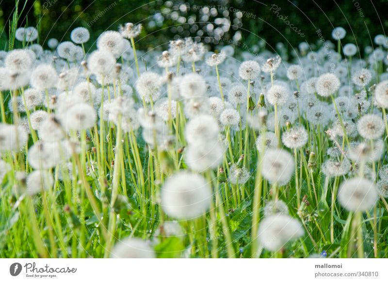 dandelions galore Dandelion Environment Nature Plant Wild plant Garden Meadow Green White Spring fever Infinity Dandelion field Mostly Accumulation Sámen