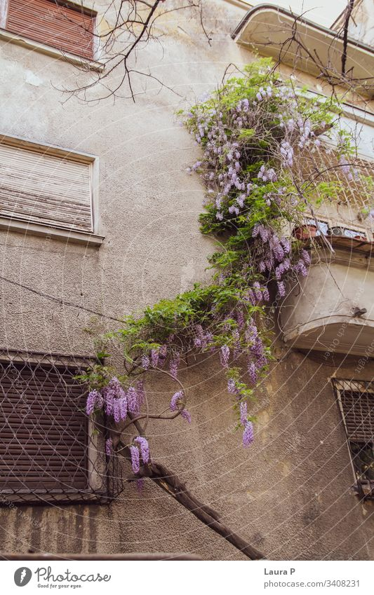 Wisteria plant with purple flowers leaning on a house wisteria green nature beautiful wall walls windows Summer Nature Green Exterior shot crawling climbing