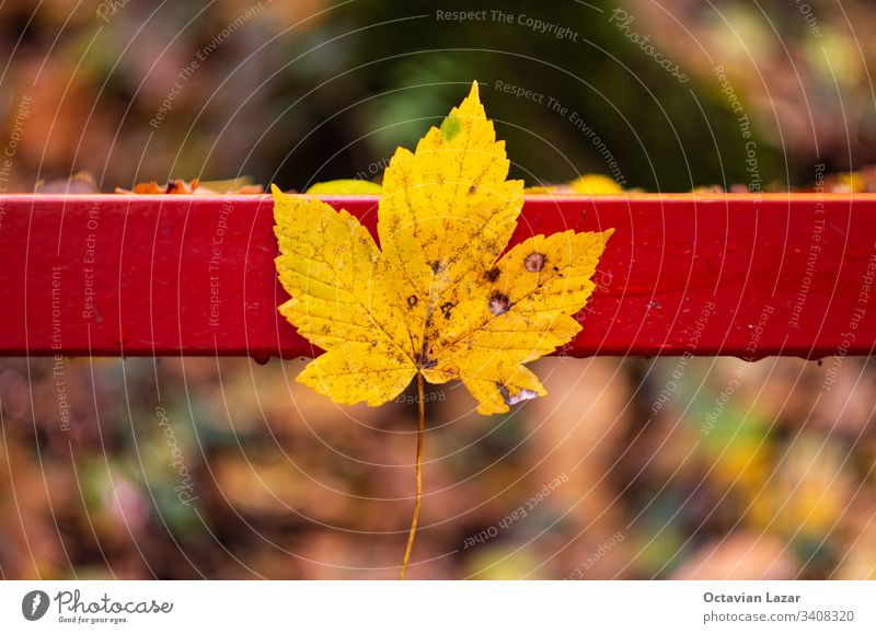 Maple leaf in autumn on against a park bench fall red season background maple yellow nature october beautiful tree color plant vibrant colorful november outdoor