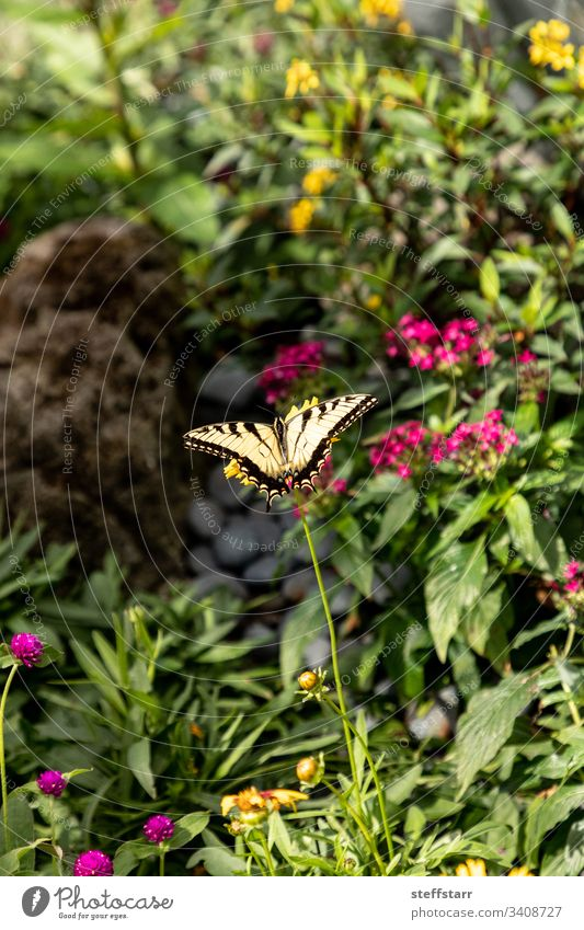 Anise swallowtail butterfly Papilio zelicaon perches on a flower bright wings garden nectaring insect bug nature animal wildlife
