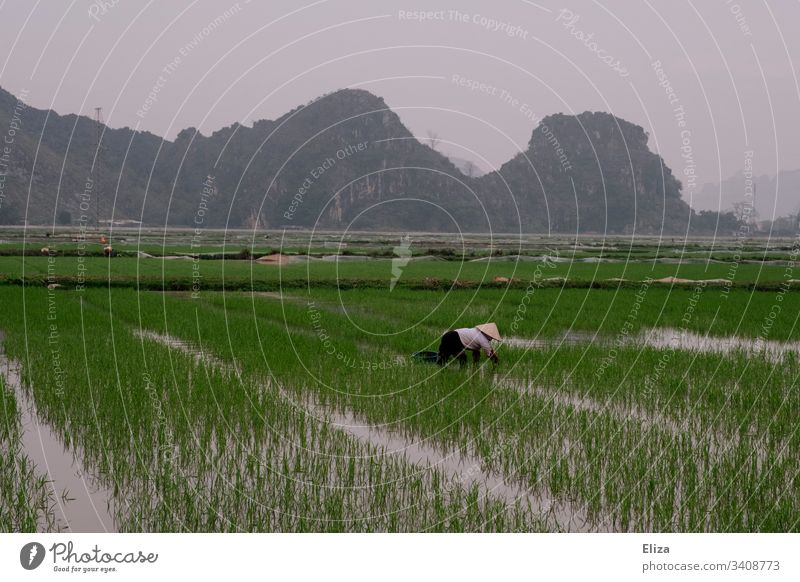 A Vietnamese rice farmer at work in a green rice field Harvest Plant Farmer Nutrition Agriculture Colour photo Asia Rural Vacation & Travel Food Nature