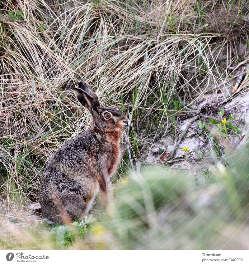 Monday bunny, shy. Environment Nature Animal Sand Marram grass Dune Wild animal Hare & Rabbit & Bunny 1 Looking Wait Natural Attentive Watchfulness Easter Bunny