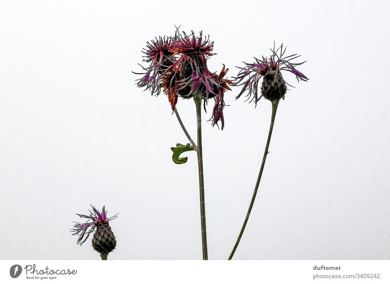 Thistle flower as a freestanding, autumnal Nature Expel blossom Spring Blossom Plant Flower Garden Close-up Growth Blossoming Natural Fresh Fragrance Beautiful