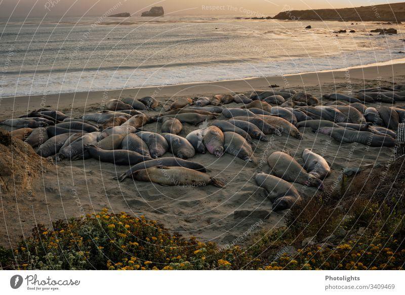 Elephant seals - Piedras Blancas - San Simeon - California Colour photo Consistency lines Behavior Seasons contented Colony marine animal world animals Rest
