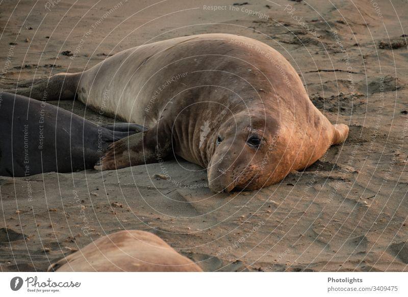 Elephant seal on the beach of Piedras Blancas - California Colour photo Consistency lines Behavior Seasons contented Colony marine animal world animals Rest
