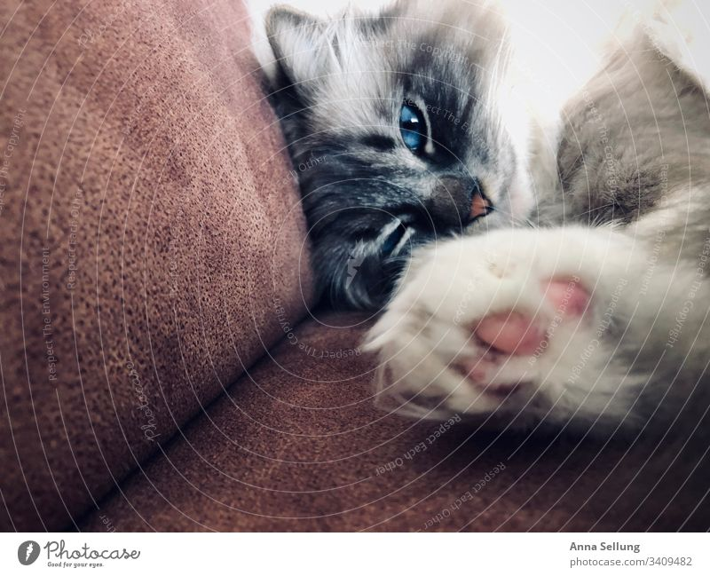 Cat with blue eyes and outstretched paw Animal portrait Central perspective Day Deserted Interior shot Colour photo Perspective Concentrate Interest