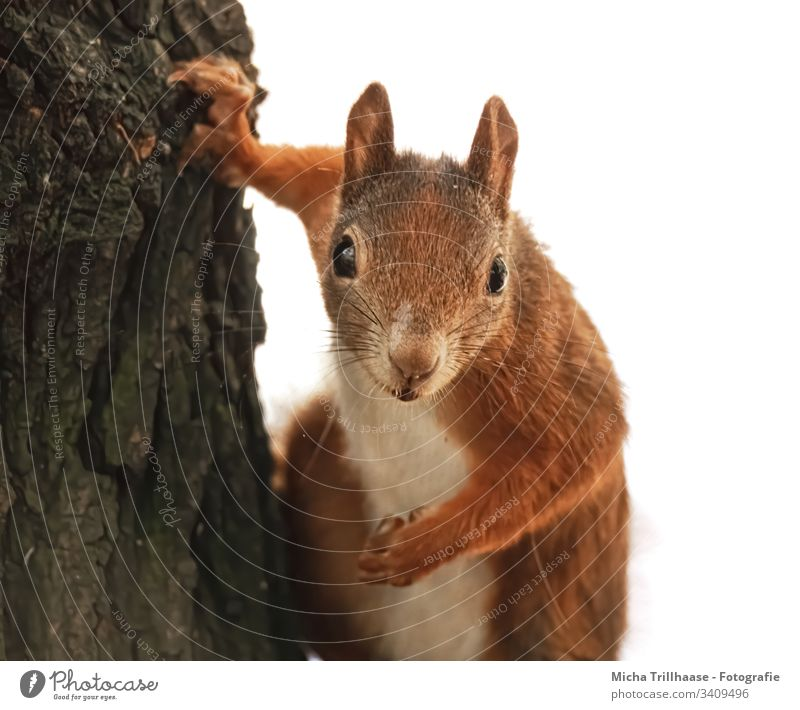 Watched by a curious squirrel Squirrel sciurus vulgaris Animal face Head Eyes Muzzle Nose Ear Pelt Paw Claw Rodent Looking Observe Nature Wild animal Tree trunk
