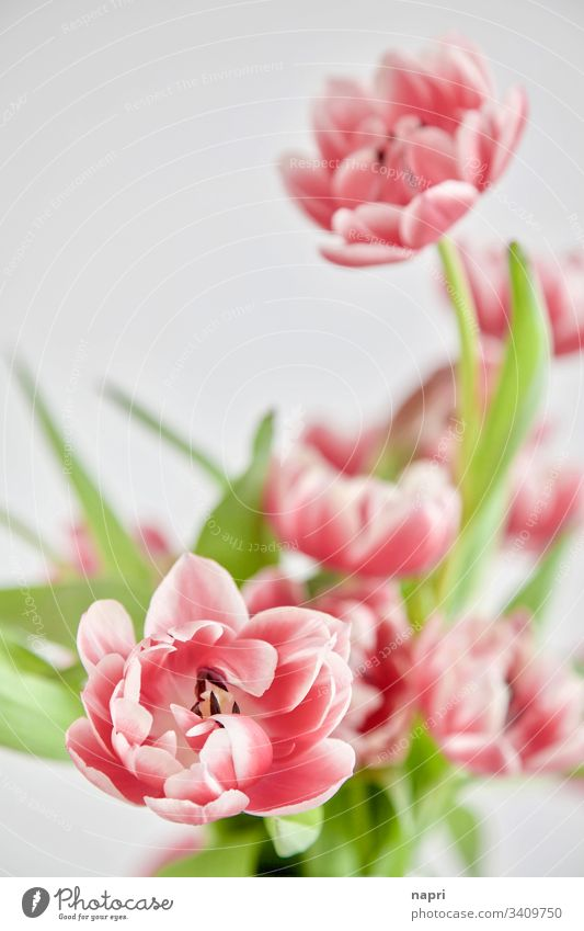 Stuffed pink tulips in front of a white background White Spring flowers Bouquet Neutral background Pink Beautiful Green Close-up blossoms Bright luminescent