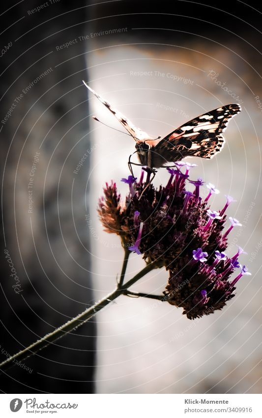 Butterfly wonderful with its splendor at wing size. Close-up #miracle #Insect #Animal #Feeler #Spring #Wings #Robby-and-more