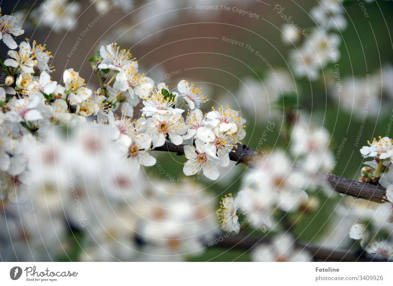Spring at last! - or a cherry branch with many small white blooming flowers in spring Cherry blossom Blossom Tree Exterior shot Colour photo Nature Blossoming
