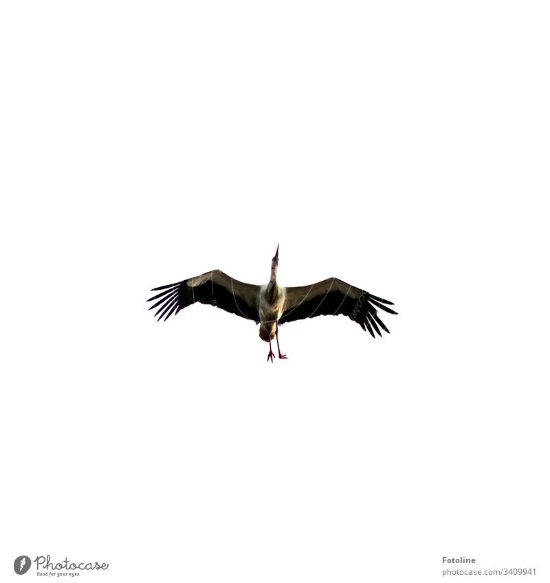 Stork with a crippled foot Bird Animal Exterior shot Colour photo 1 Deserted Day Nature Wild animal Sky Copy Space top Environment Beautiful weather White