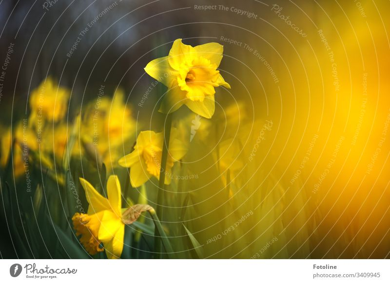 A field of blooming daffodils in spring blossoms Flower Plant Blossom Nature Colour photo Exterior shot Green Blossoming Day Deserted Shallow depth of field
