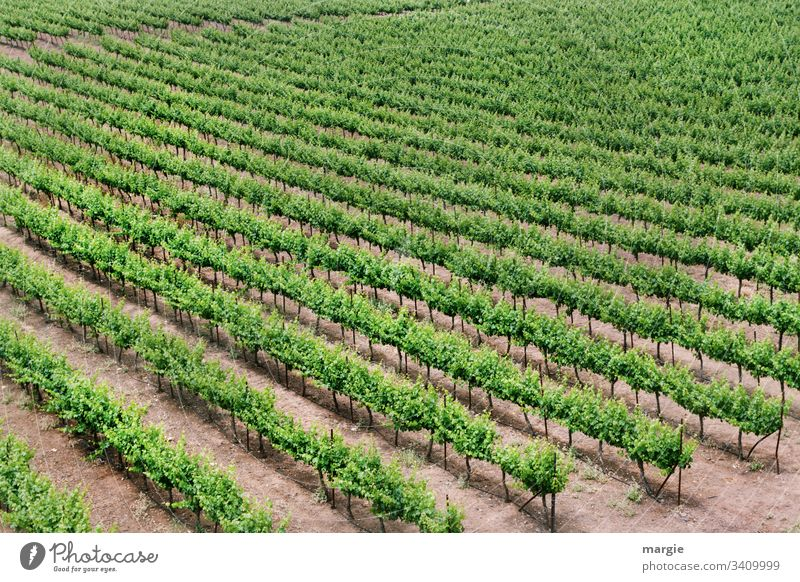 climate change |...still growing wine! Vineyard Wine growing Deserted Plant Green Summer Nature Exterior shot Grape harvest Day Winery Colour photo Landscape