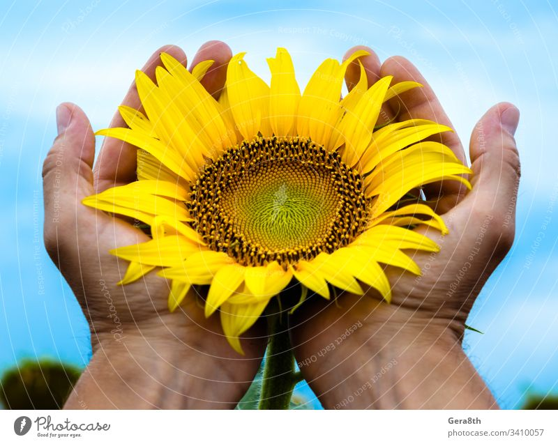 yellow bright blooming sunflower in the man's palms against the agriculture background blooms blossom blue sky botanic care careful carefully circle closeup