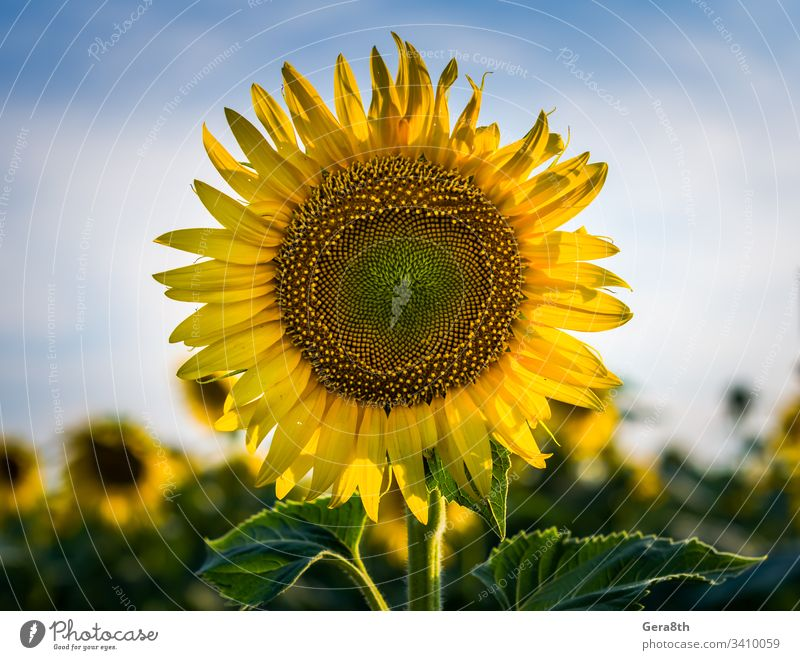 yellow sunflower with two green leaves on a field against a blue agricultural agriculture background beautiful beauty blooming blossom boundless bright circle
